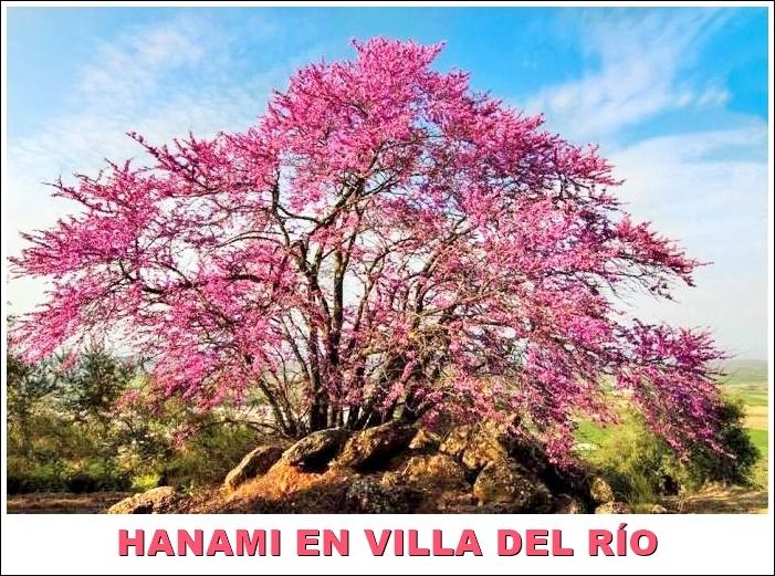 'Hanami' villarrense en la primavera cultural japonesa 1